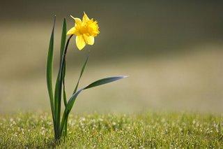 Daffodil in springtime